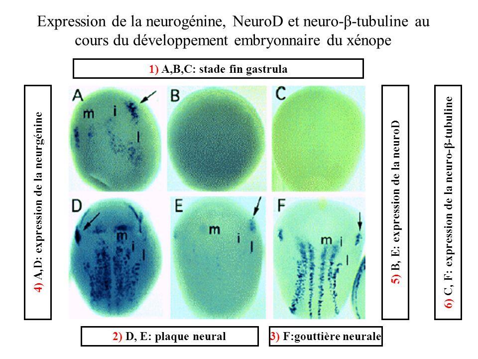 1) A,B,C: stade fin gastrula 2) D, E: plaque neural3) F:gouttière neurale 4) A,D: expression de la neurgénine6) C, F: expression de la neuro-β-tubuline5) B, E: expression de la neuroD Expression de la neurogénine, NeuroD et neuro-β-tubuline au cours du développement embryonnaire du xénope