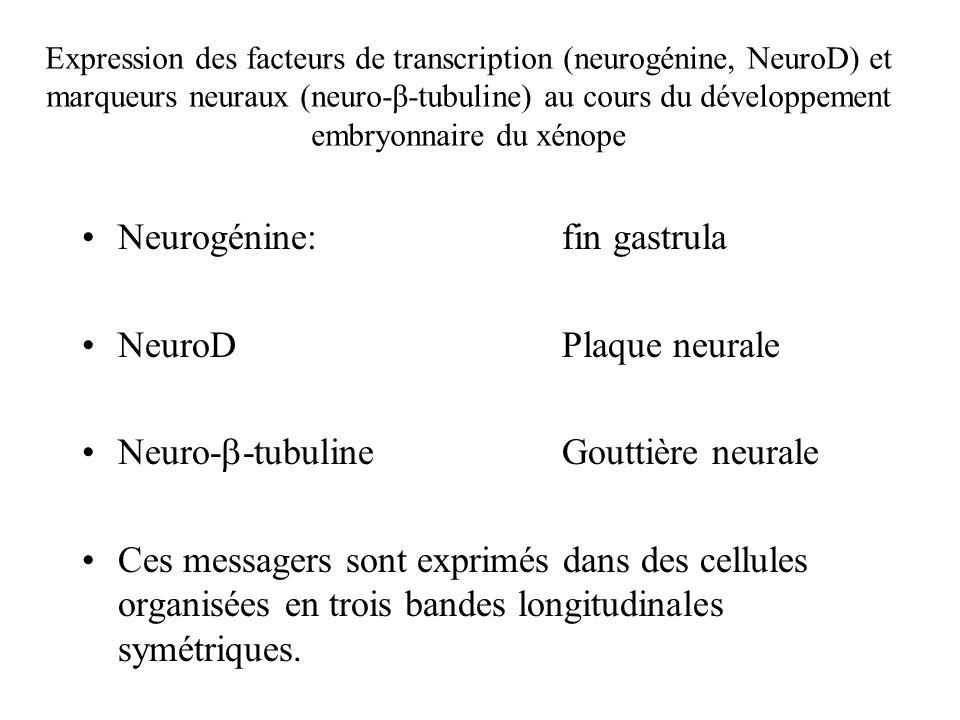 Expression des facteurs de transcription (neurogénine, NeuroD) et marqueurs neuraux (neuro-β-tubuline) au cours du développement embryonnaire du xénope Neurogénine: fin gastrula NeuroDPlaque neurale Neuro- -tubulineGouttière neurale Ces messagers sont exprimés dans des cellules organisées en trois bandes longitudinales symétriques.