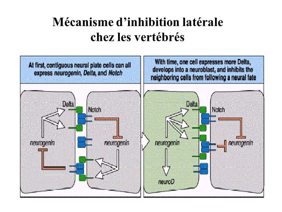 Mécanisme dinhibition latérale chez les vertébrés