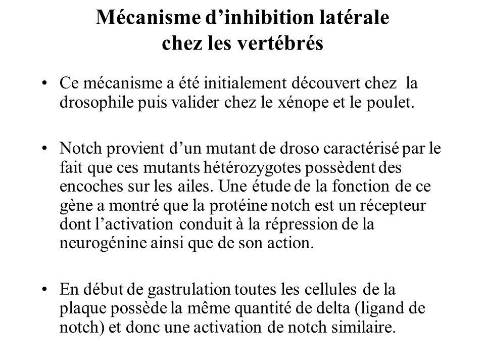 Mécanisme dinhibition latérale chez les vertébrés Ce mécanisme a été initialement découvert chez la drosophile puis valider chez le xénope et le poulet.