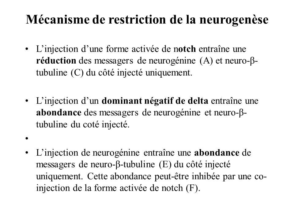 Mécanisme de restriction de la neurogenèse Linjection dune forme activée de notch entraîne une réduction des messagers de neurogénine (A) et neuro-β- tubuline (C) du côté injecté uniquement.