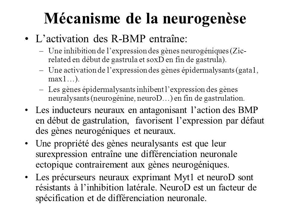 Lactivation des R-BMP entraîne: –Une inhibition de lexpression des gènes neurogéniques (Zic- related en début de gastrula et soxD en fin de gastrula).