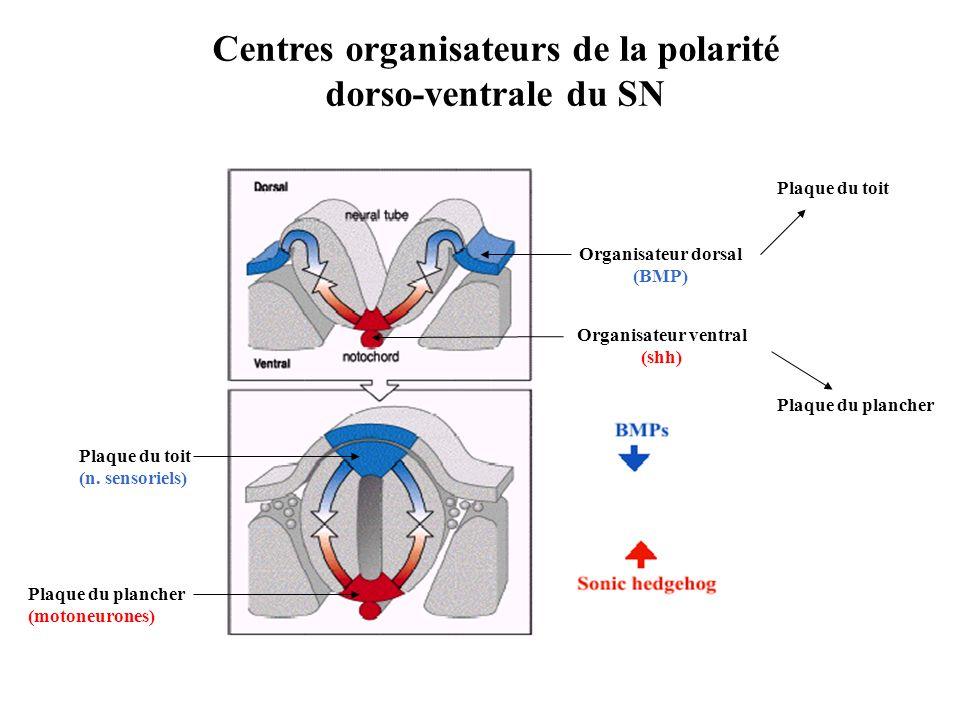 Centres organisateurs de la polarité dorso-ventrale du SN Plaque du plancher (motoneurones) Plaque du toit (n.