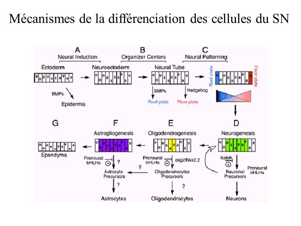 Mécanismes de la différenciation des cellules du SN