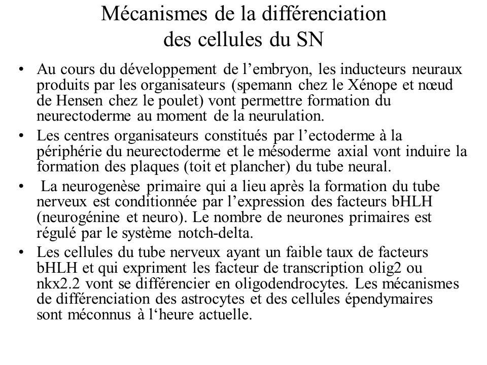 Au cours du développement de lembryon, les inducteurs neuraux produits par les organisateurs (spemann chez le Xénope et nœud de Hensen chez le poulet) vont permettre formation du neurectoderme au moment de la neurulation.