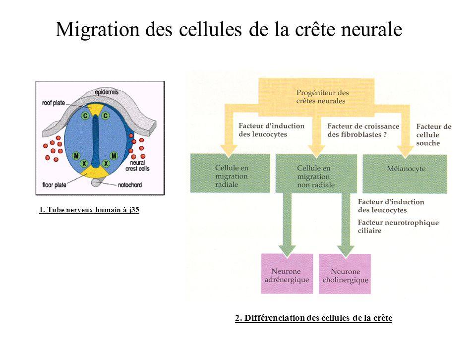 Migration des cellules de la crête neurale 1.Tube nerveux humain à j35 2.