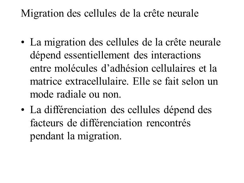 La migration des cellules de la crête neurale dépend essentiellement des interactions entre molécules dadhésion cellulaires et la matrice extracellulaire.