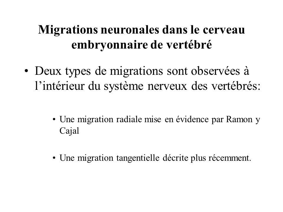 Migrations neuronales dans le cerveau embryonnaire de vertébré Deux types de migrations sont observées à lintérieur du système nerveux des vertébrés: Une migration radiale mise en évidence par Ramon y Cajal Une migration tangentielle décrite plus récemment.