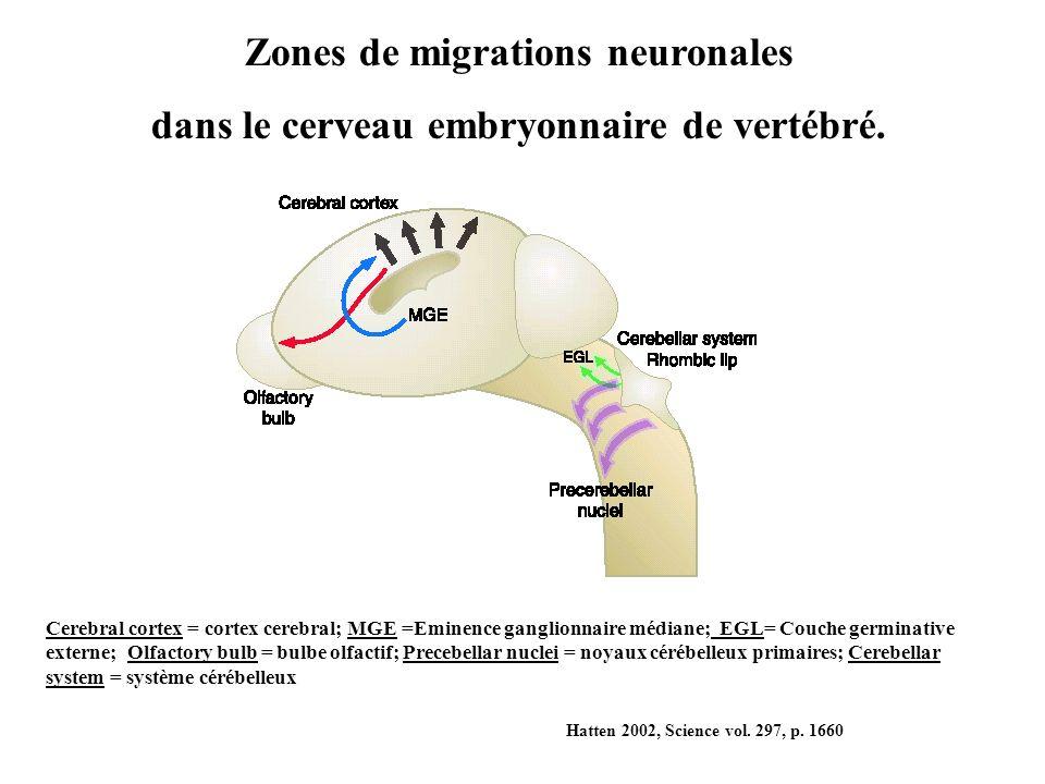 Cerebral cortex = cortex cerebral; MGE =Eminence ganglionnaire médiane; EGL= Couche germinative externe; Olfactory bulb = bulbe olfactif; Precebellar nuclei = noyaux cérébelleux primaires; Cerebellar system = système cérébelleux Hatten 2002, Science vol.