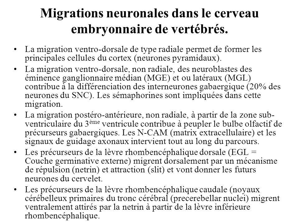 Migrations neuronales dans le cerveau embryonnaire de vertébrés.