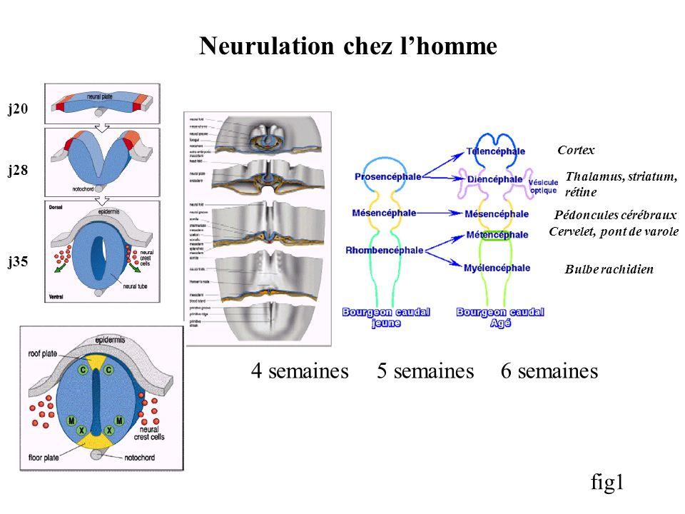 Neurulation chez lhomme 6 semaines5 semaines4 semaines j20 j28 j35 fig1 Thalamus, striatum, rétine Pédoncules cérébraux Cervelet, pont de varole Bulbe rachidien Cortex