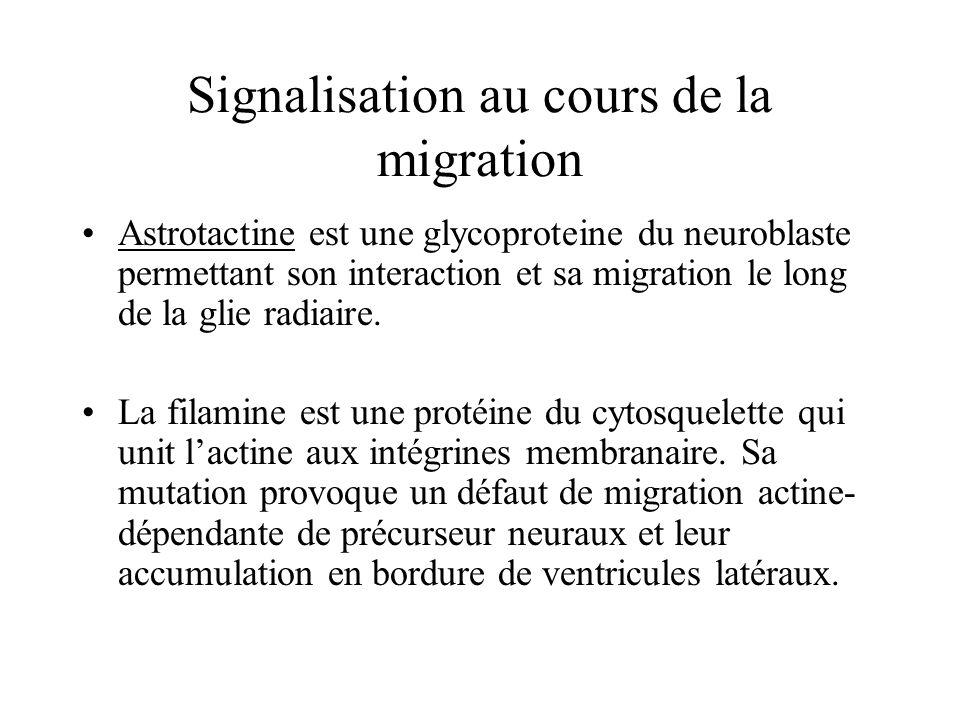 Astrotactine est une glycoproteine du neuroblaste permettant son interaction et sa migration le long de la glie radiaire.