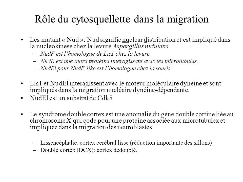 Rôle du cytosquellette dans la migration Les mutant « Nud »: Nud signifie nuclear distribution et est impliqué dans la nucleokinese chez la levure Aspergillus nidulens –NudF est lhomologue de Lis1 chez la levure.
