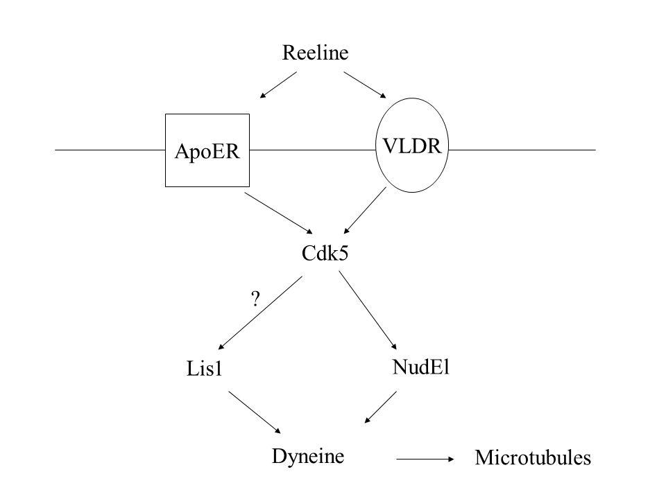 Reeline ApoER VLDR Cdk5 Lis1 NudEl ? Dyneine Microtubules