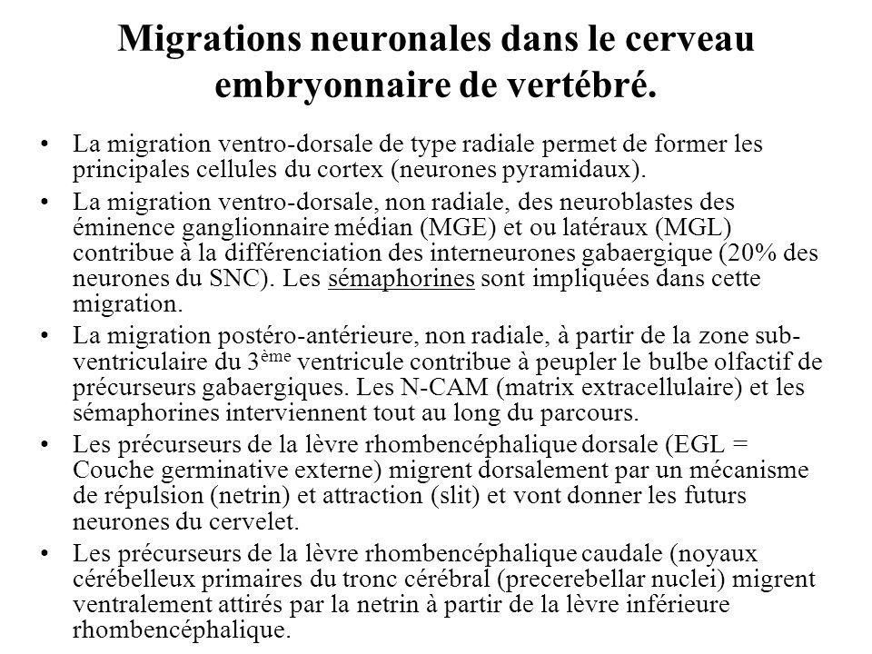 Migrations neuronales dans le cerveau embryonnaire de vertébré.