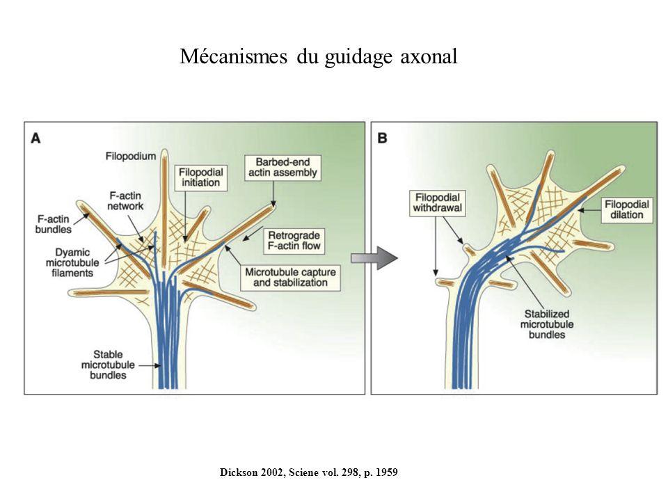 Dickson 2002, Sciene vol. 298, p. 1959 Mécanismes du guidage axonal