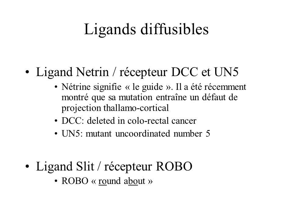 Ligands diffusibles Ligand Netrin / récepteur DCC et UN5 Nétrine signifie « le guide ».