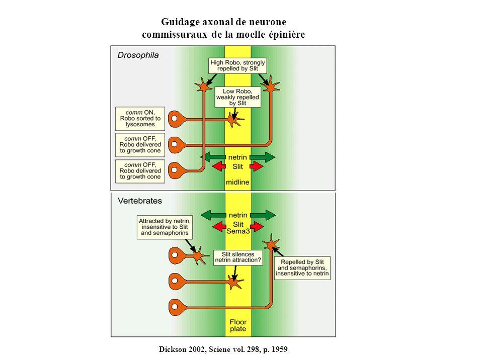Guidage axonal de neurone commissuraux de la moelle épinière Dickson 2002, Sciene vol. 298, p. 1959