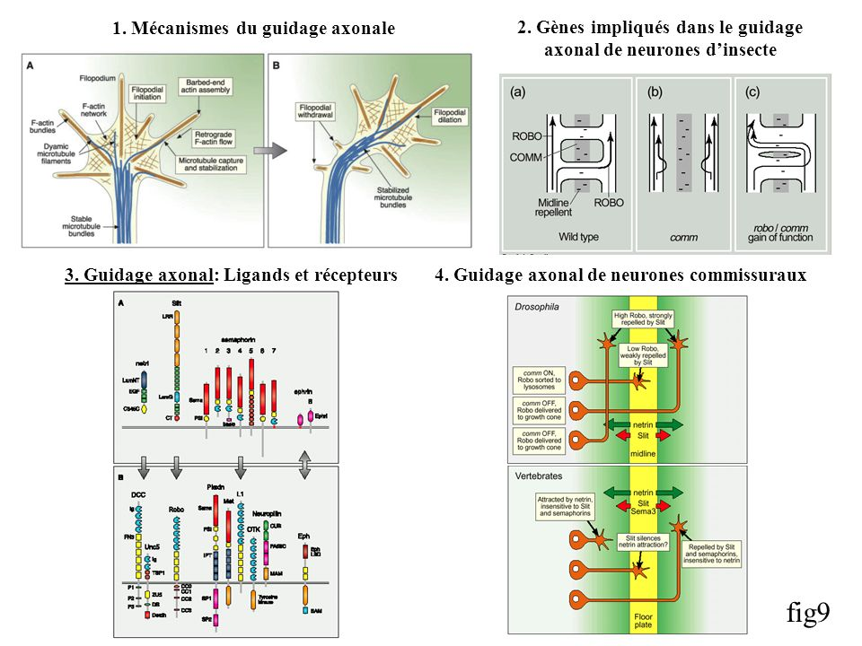 4.Guidage axonal de neurones commissuraux3. Guidage axonal: Ligands et récepteurs 2.