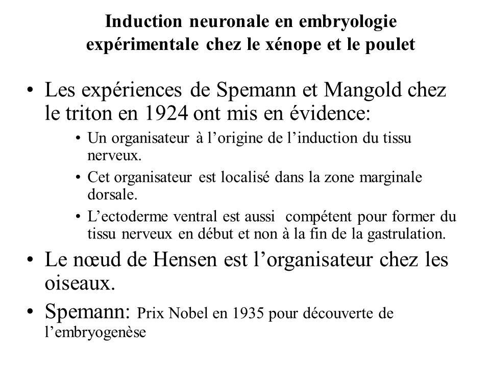 Les expériences de Spemann et Mangold chez le triton en 1924 ont mis en évidence: Un organisateur à lorigine de linduction du tissu nerveux.