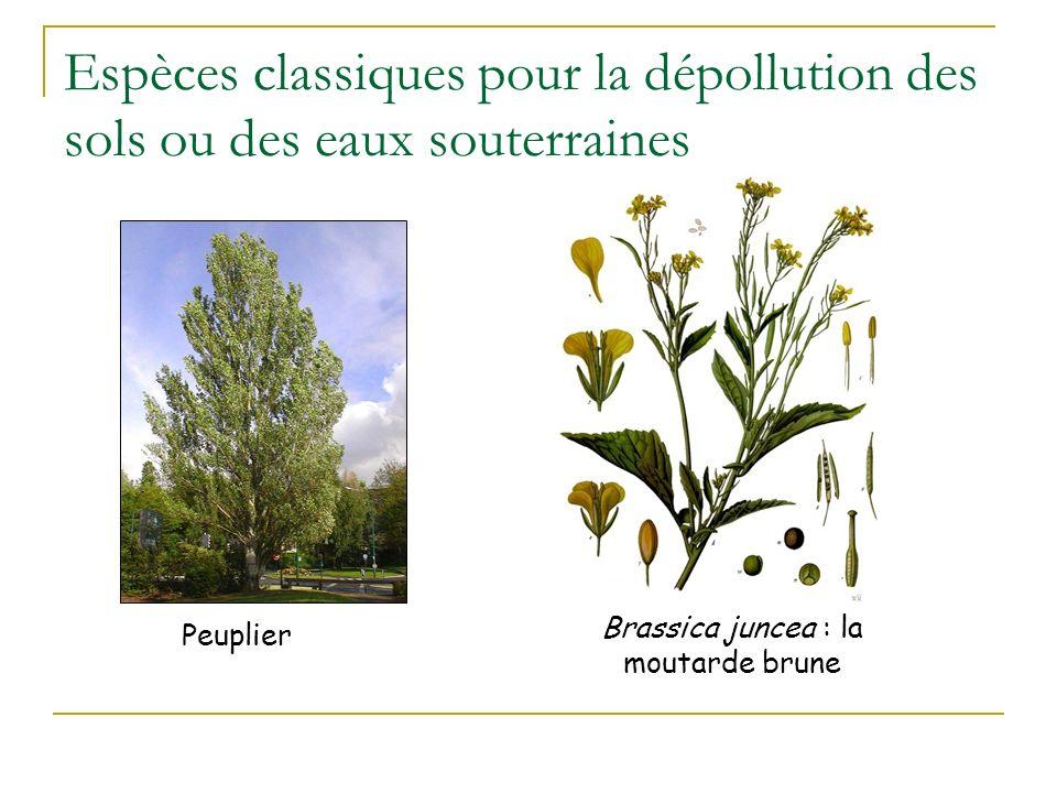 Espèces classiques en zones humides Spartine Lentille deau Jacinthe deau