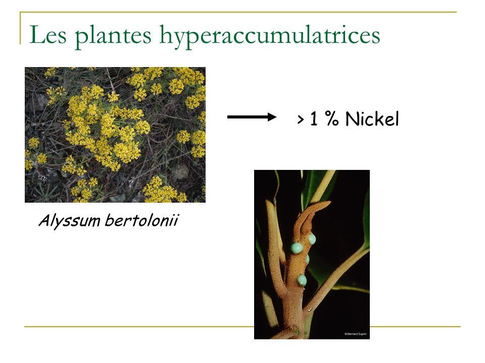 Espèces classiques pour la dépollution des sols ou des eaux souterraines Peuplier Brassica juncea : la moutarde brune