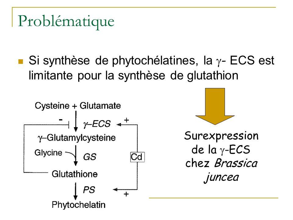 Augmentation de la tolérance au cadmium Surexpression de la -ECS chez Brassica juncea