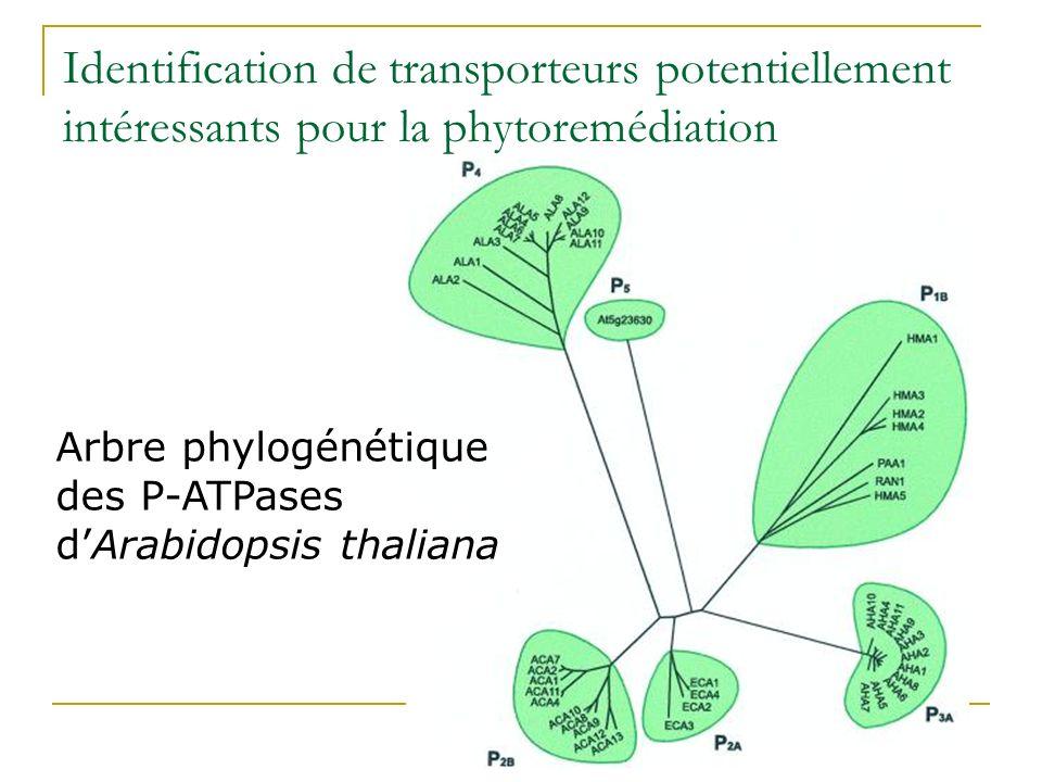 Cd 2+ biodisponible Canaux et transporteurs calciques Transporteurs de Fe Problème : translocation<50% Cd chélaté, séquestré