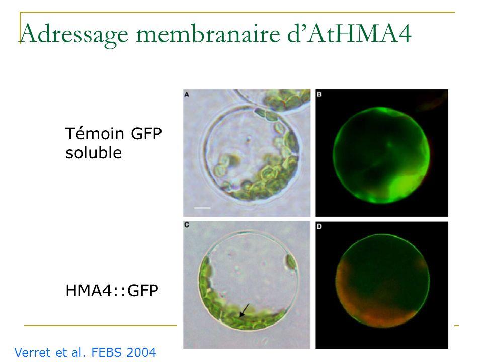 Identification de transporteurs potentiellement intéressants pour la phytoremédiation Arbre phylogénétique des P-ATPases dArabidopsis thaliana