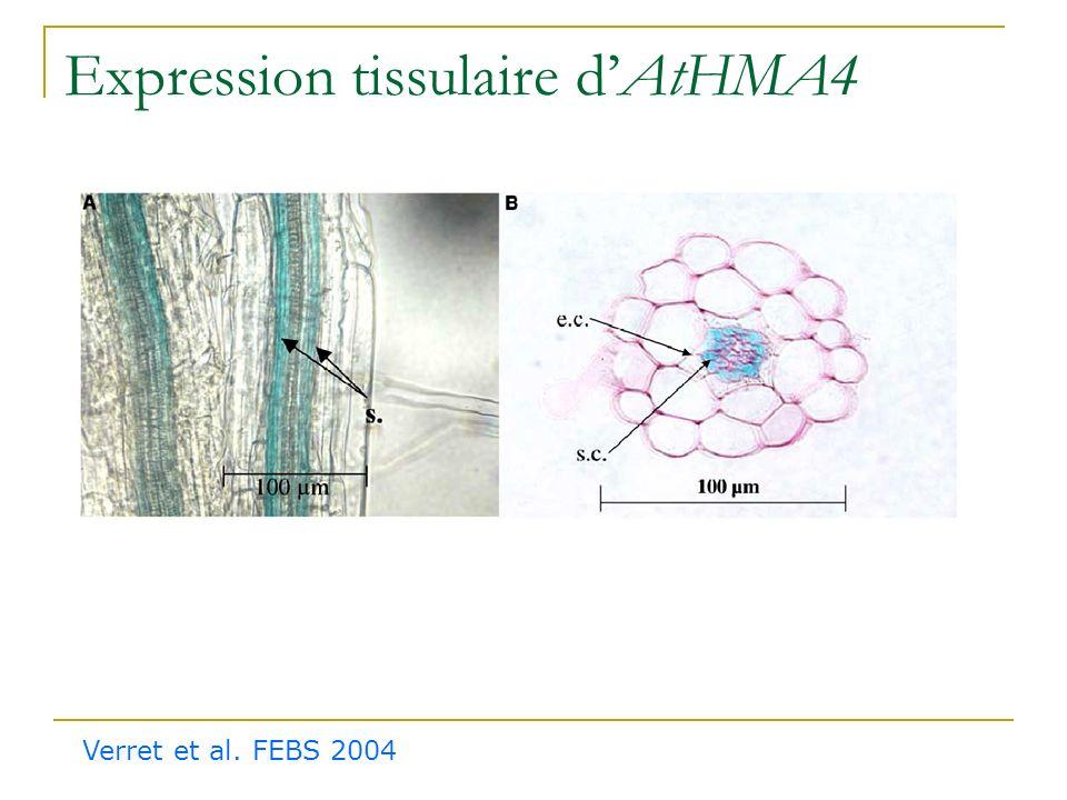 Adressage membranaire dAtHMA4 Verret et al. FEBS 2004 Témoin GFP soluble HMA4::GFP