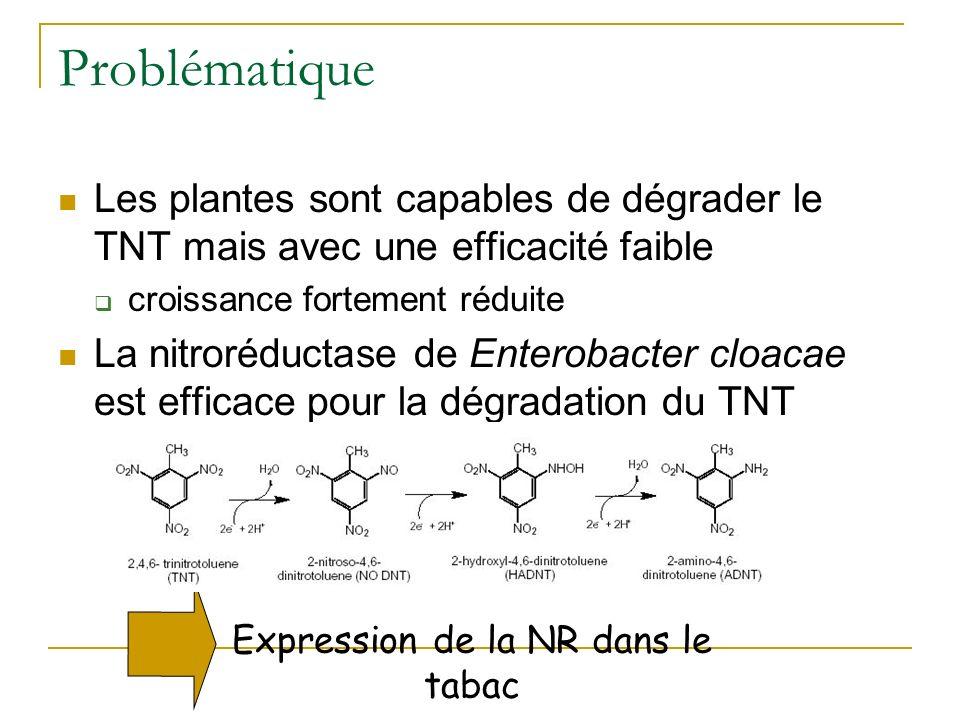 Phytodégradation du TNT par une plante exprimant une nitroréductase bactérienne Hannink et al. 2001 Nature Biotech