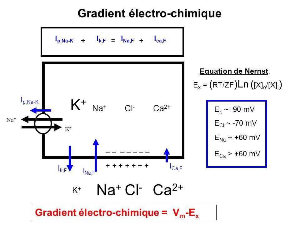 Gradient électro-chimique K+K+ Na + Cl - Ca 2+ _ _ _ _ _ _ _ + + + + + + + Na + K+K+ Cl - Ca 2+ K+K+ Na + I k,F I Na,F I p,Na-K I Ca,F I p,Na-K I k,F