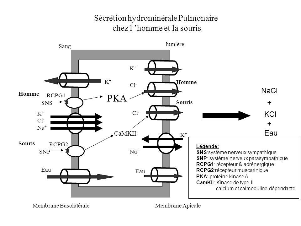 Sécrétion hydrominérale Pulmonaire chez l homme et la souris Sang lumière Membrane ApicaleMembrane Basolatérale K+K+ K+K+ Eau RCPG1 PKA SNS Homme RCPG
