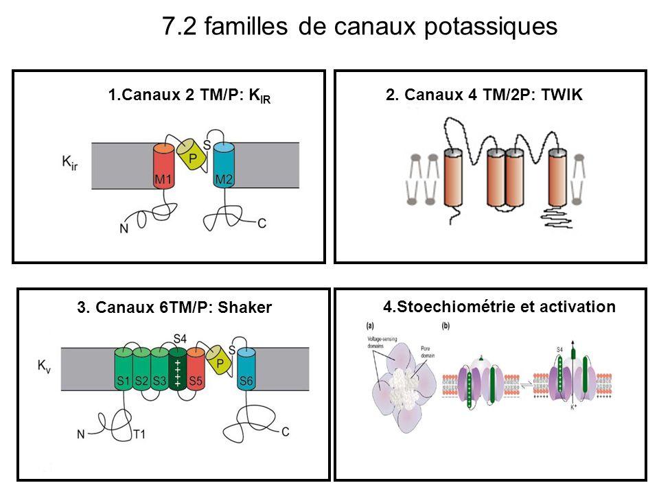 1.Canaux 2 TM/P: K IR 2. Canaux 4 TM/2P: TWIK 3. Canaux 6TM/P: Shaker 7.2 familles de canaux potassiques 4.Stoechiométrie et activation