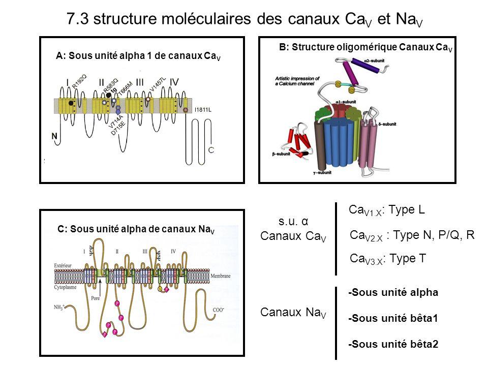 B: Structure oligomérique Canaux Ca V C: Sous unité alpha de canaux Na V A: Sous unité alpha 1 de canaux Ca V ++++++ ++++++ ++++++ ++++++ s.u. α Canau