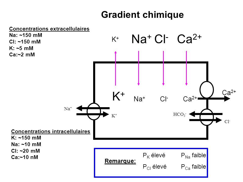 K+K+ Na + Cl - Na + K+K+ Cl - Ca 2+ Gradient chimique Na + K+K+ HCO 3 - Cl - Ca 2+ P K élevé P Cl élevé P Na faible P Ca faible Remarque: Concentratio