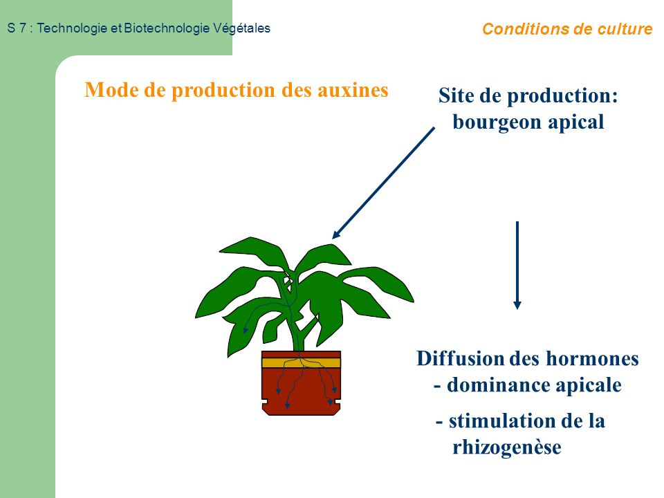 S 7 : Technologie et Biotechnologie Végétales Substances de croissance Les auxines Conditions de culture Naturelle : Acide Indole Acétique = IAA N CH
