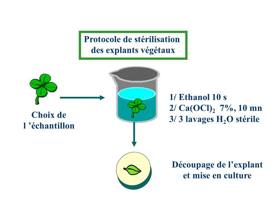 Protocole de stérilisation des explants végétaux Choix de l échantillon 1/ Ethanol 10 s 2/ Ca(OCl) 2 7%, 10 mn 3/ 3 lavages H 2 O stérile Découpage de lexplant et mise en culture
