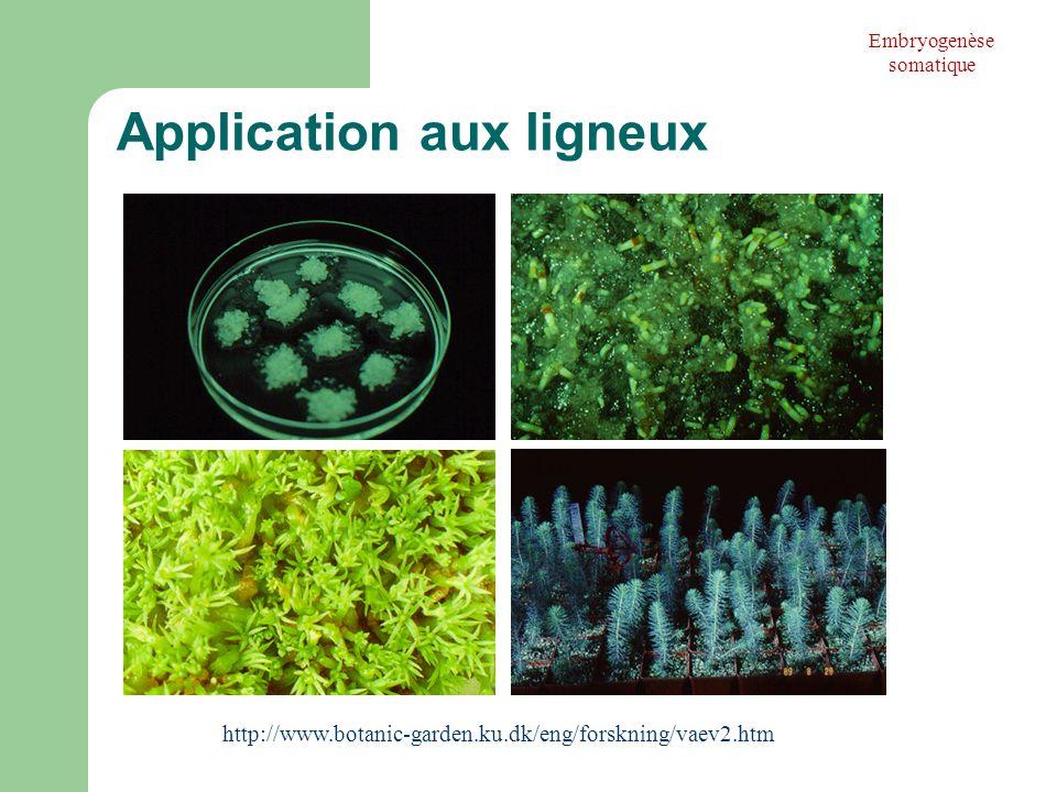 Application aux ligneux http://www.botanic-garden.ku.dk/eng/forskning/vaev2.htm Embryogenèse somatique