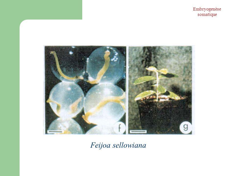Feijoa sellowiana Embryogenèse somatique