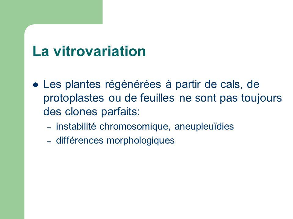 La vitrovariation Les plantes régénérées à partir de cals, de protoplastes ou de feuilles ne sont pas toujours des clones parfaits: – instabilité chro