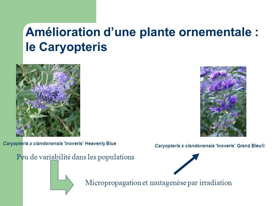 Caryopteris x clandonensis 'Inoveris' Grand Bleu® Caryopteris x clandonensis 'Inoveris' Heavenly Blue Peu de variabilité dans les populations Micropro