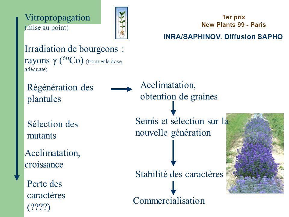 Vitropropagation (mise au point) Irradiation de bourgeons : rayons γ ( 60 Co) (trouver la dose adéquate) Sélection des mutants Acclimatation, croissan