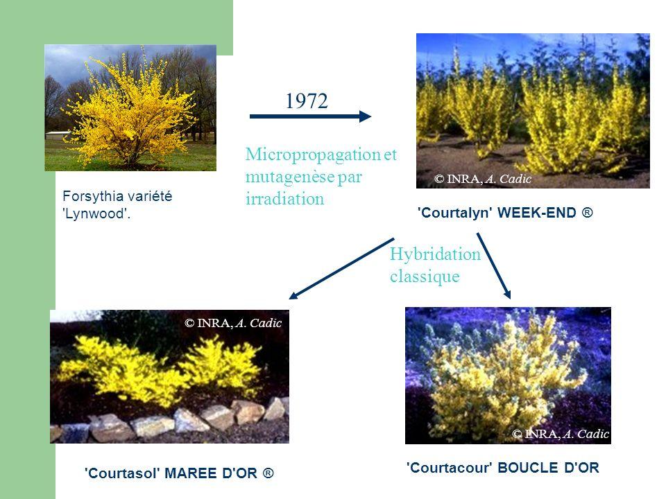 Forsythia variété 'Lynwood'. Micropropagation et mutagenèse par irradiation 1972 'Courtalyn' WEEK-END ® 'Courtasol' MAREE D'OR ® 'Courtacour' BOUCLE D