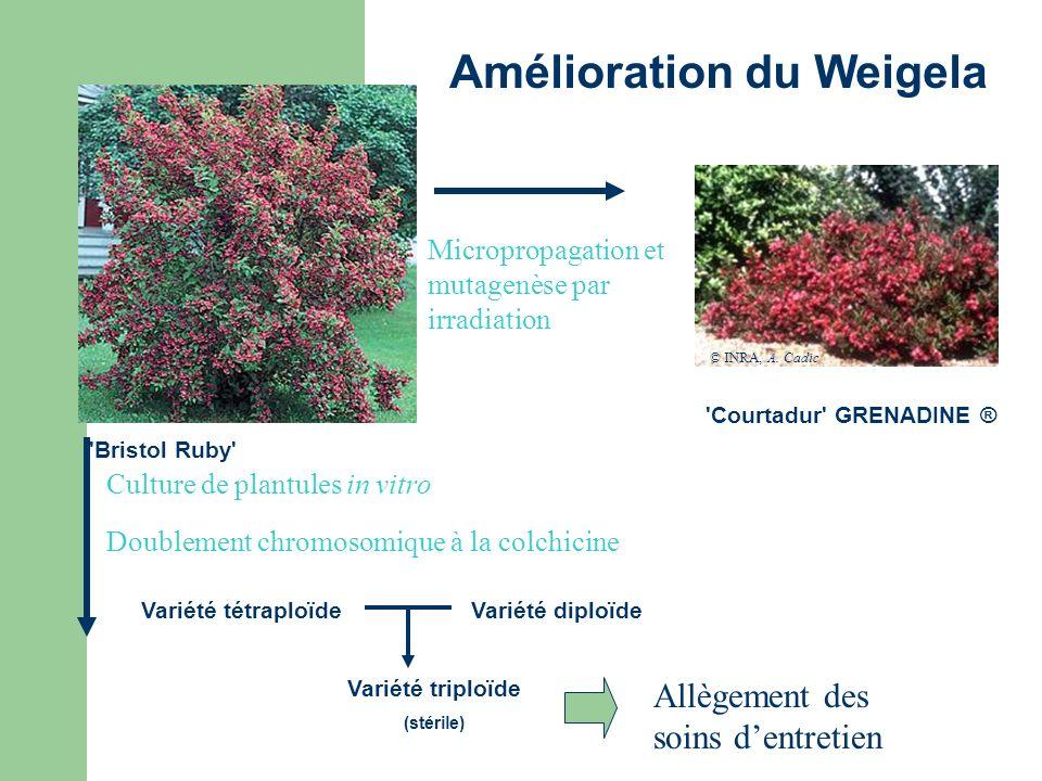 Micropropagation et mutagenèse par irradiation 'Courtadur' GRENADINE ® 'Bristol Ruby' © INRA, A. Cadic Culture de plantules in vitro Doublement chromo