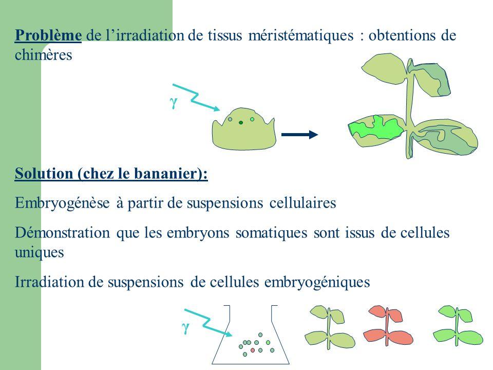 Problème de lirradiation de tissus méristématiques : obtentions de chimères Solution (chez le bananier): Embryogénèse à partir de suspensions cellulai