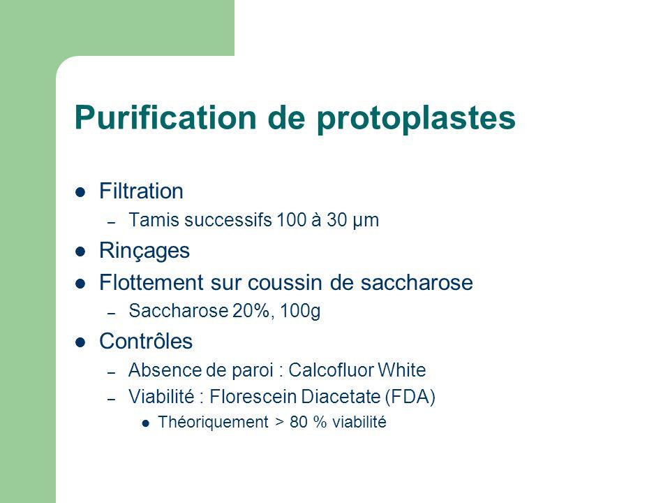 Purification de protoplastes Filtration – Tamis successifs 100 à 30 µm Rinçages Flottement sur coussin de saccharose – Saccharose 20%, 100g Contrôles