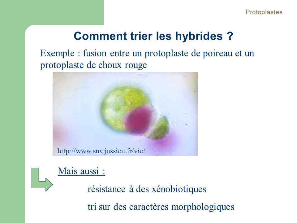 http://www.snv.jussieu.fr/vie/ Exemple : fusion entre un protoplaste de poireau et un protoplaste de choux rouge Protoplastes Comment trier les hybrid