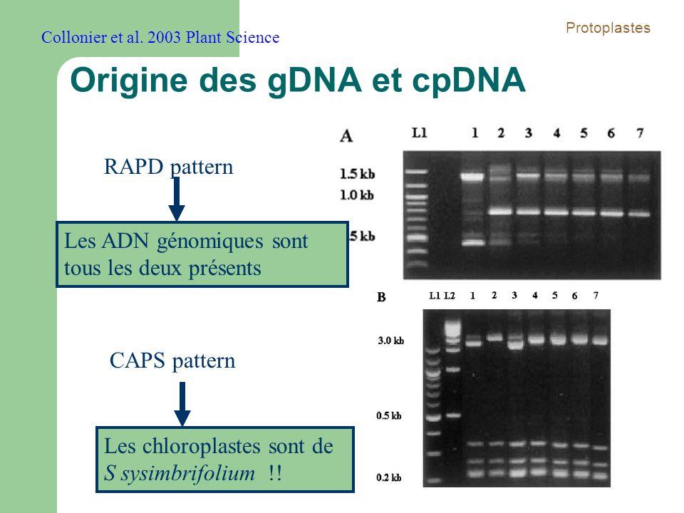 Origine des gDNA et cpDNA RAPD pattern CAPS pattern Les chloroplastes sont de S sysimbrifolium !! Les ADN génomiques sont tous les deux présents Collo