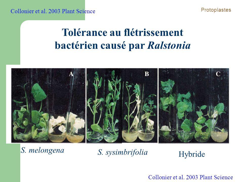 Tolérance au flétrissement bactérien causé par Ralstonia S. melongena S. sysimbrifolia Hybride Collonier et al. 2003 Plant Science Protoplastes